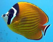 タオ島の海水魚動画図鑑