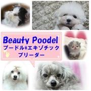 Beauty Poodelのプ−ドルとエキゾのパピー