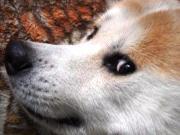 秋田犬カイの日常