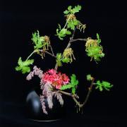 生花ギャラリー·オーストラリア