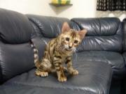 ベンガル猫3にゃんずの日常