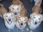ゴールデンレトリバー家族大好きママのブログ