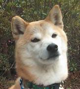 南米で日本犬を探そう!