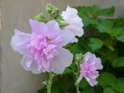 shi-like-flowerさんのプロフィール