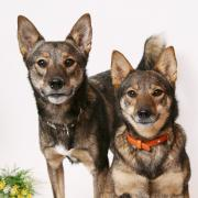 双子の雑種犬 マリン、カイの日々