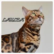 ベンガル猫とののどかな暮らし