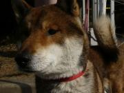 四国犬・鉄平の毎日