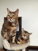 ベンガル猫の蒼奏(そうぞう)しい毎日