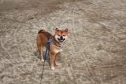 豆ゴマ柴犬=そらの散歩道