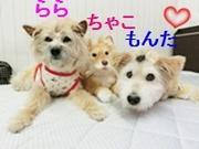 雑種犬ちゃこ・らら・もんた&まり との暮らし