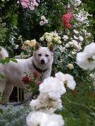 白い犬のりくとバラと色んな話