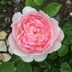 スローライフに憧れて・・・薔薇や野菜を育てながら