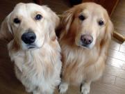 ゴールデンレトリーバー大好き!れのぴーの愛犬ブログ
