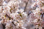 幸手市(さってし)権現堂桜堤の花見ガイド
