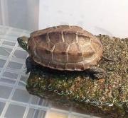 テンツクコウゲイ・亀の飼育記録