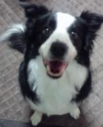 犬/ボーダー・コリーのいる生活