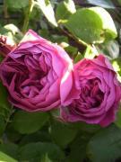 Consciousness to a rosa