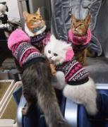 スタッフブログ・猫・アビ・ソマリ・チンチラの事