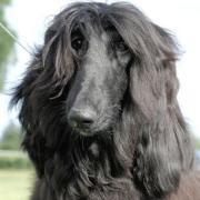 「迷子犬」黒い大型犬を捜してます!アフガンハウンド