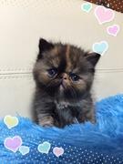 小型犬・猫ブリーダー Petit Chien