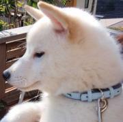 白い柴犬「琥珀」の成長と教訓ブログ