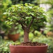ヒロシのミニミニ盆栽ワールド