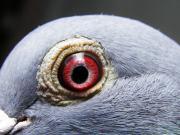 ヤマネットインターナショナル・ブログ(レース鳩)