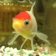 プリプリ ♪ 金魚ちゃん