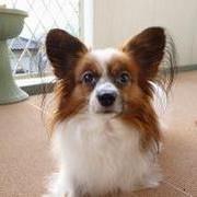 パピヨン犬モカのほんわかブログ