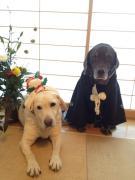 ☆ラブラドール 「カフィ&クリープ 」の老犬生活☆
