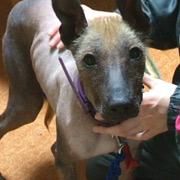 ペルービアン・ヘアレス・ドッグと北海道犬の写真集