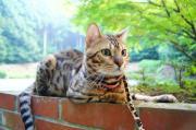 ベンガル子猫販売:キャットクレスト