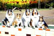 5collies&shetlandseepdog