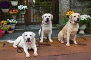 Labradors Lovelyな仲間たち