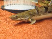 ギンの古代魚飼育ブログ
