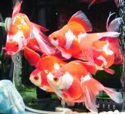 金魚ワールド4