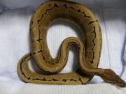 ばーいなの爬虫類飼育記