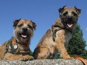WITH A BORDER TERRIER