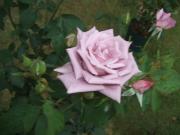 小さな庭のバラの国