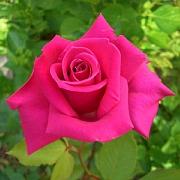 バラの成長さんのプロフィール