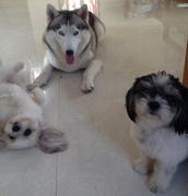 バリ島で愛犬クレオンとチビ犬とのんびり暮らし