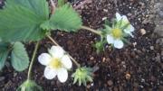 Grapa ベランダ家庭菜園