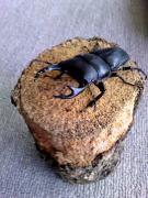 オオクワガタ飼育日記 国産昆虫を極めるぞ