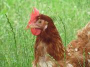 鳥は鳥でも鶏なんです