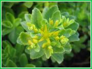 灌水装置のいらない屋上緑化。エコ植物常緑キリンソウ