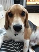 ☆ My Nichi Beagle ☆