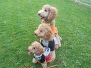 3 Poodle life