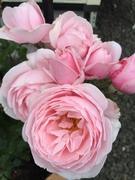 Hidamari@小庭の薔薇
