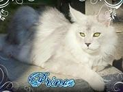 Maine Coon Cattery ENISHION
