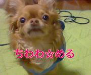 仲良し姉妹チワワ「める+ぷてぃー」